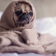 cachorro mal humorado
